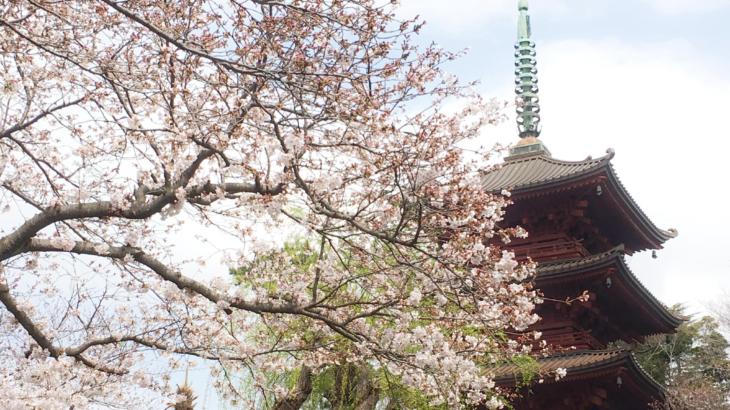 法華経寺の桜が見頃、多くの花見客が境内や商店会を訪れています