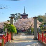 中山の桜が満開!今週末のお花見はお早めに。